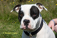SH40-594z  American Bulldog, Close-up of face,  Canis lupus familiaris