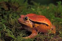 SOUTHERN TOMATO FROG..Eeastern Madagascar..Captive. Dyscophus guineti.