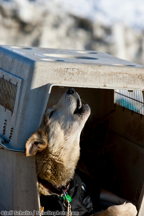 Dallas Seavey's dog howls while resting in his dog kennel in the dog lot in Nome during the 2010 Iditarod