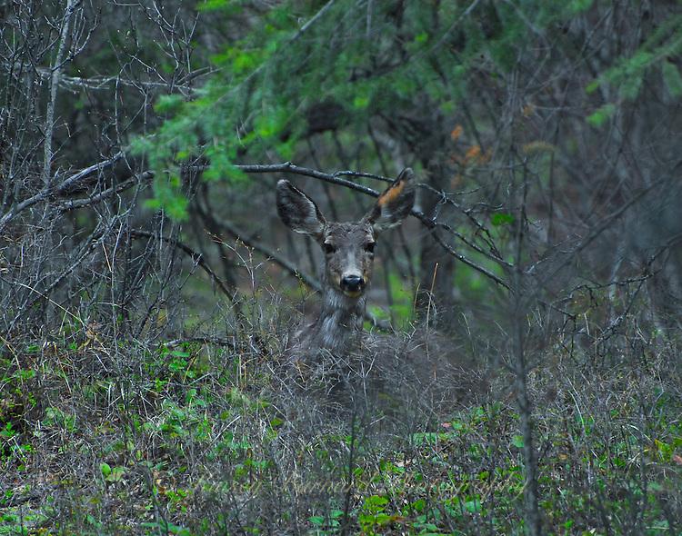Mule deer doe peering through the bush.