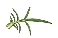 Acker-Witwenblume, Ackerwitwenblume, Witwenblume, Wiesen-Witwenblume, Wiesenskabiose, Knautia arvensis, field scabious, La Knautie des champs, la Scabieuse des champs. Blatt, Blätter, leaf, leaves