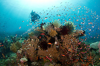 female diver and corals at the japanese wreck in Amed - Bali.<br />