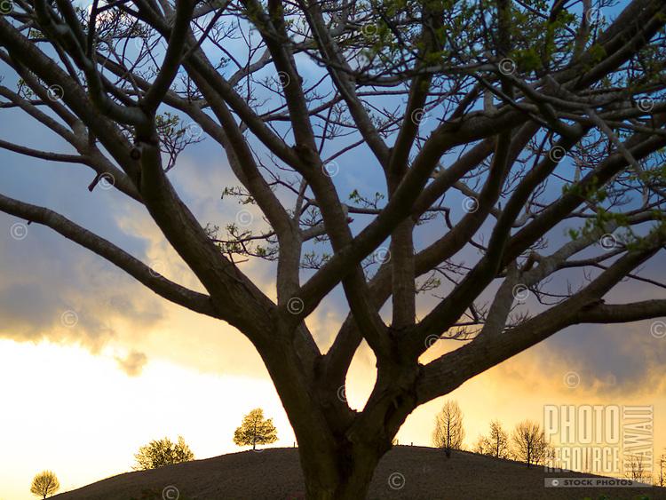 A large Jacaranda tree in front of a dynamic cloudy sky and hillside in Pu'uanahulu, Big Island.