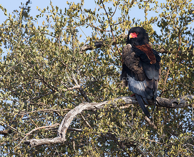 A bateleur eagle perched in Kruger National Park.