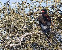 A bateleur eagle perched in Kruger National Park.