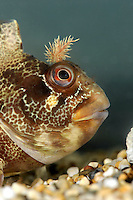 Tompot Blenny Parablennius gattorugine Length to 25cm<br /> Impressive and colourful blenny. Found on rocky coasts, on lower shore and sublittoral. Adult has similar shape overall to Blenny but stouter body and striking dorsal fin that starts further forward and lacks obvious dip in middle. Head bears pair of frilly tentacles. Colour is variable but usually marbled reddish-brown and buff with dark bands. Locally common, SW only.