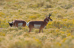Pronghorn Males, Lower Mammoth, Yellowstone National Park, Wyoming