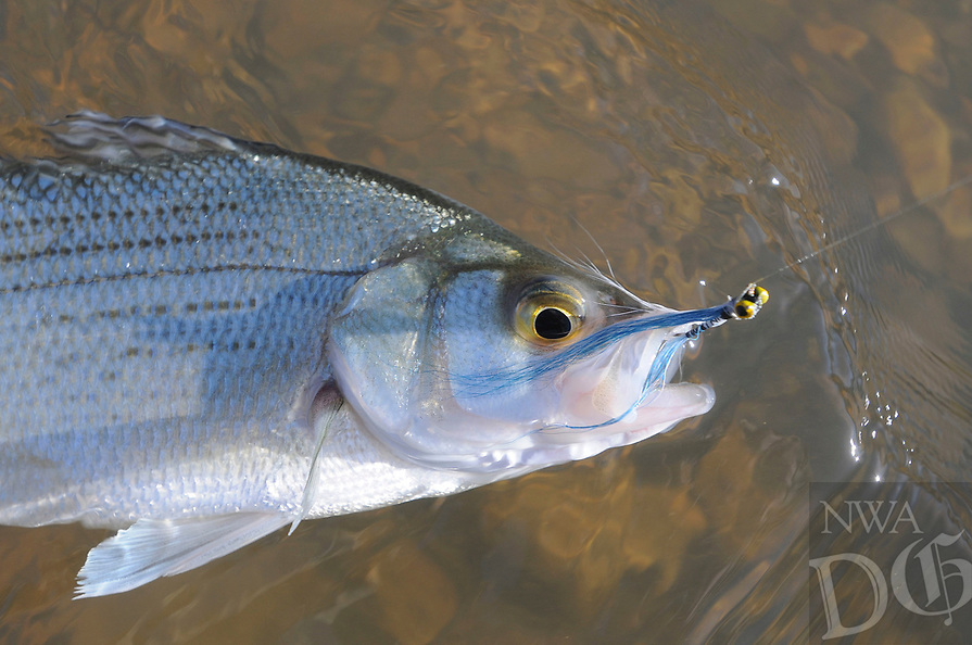 NWA Democrat-Gazette/FLIP PUTTHOFF <br /> White bass will bite any lure that looks like a minnow. This fish bit a Clouser minnow cast with a fly rod.