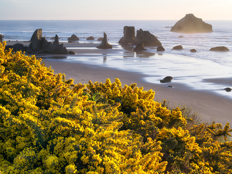 Gorse wildflowers and coastline at Bandon, Oregon.