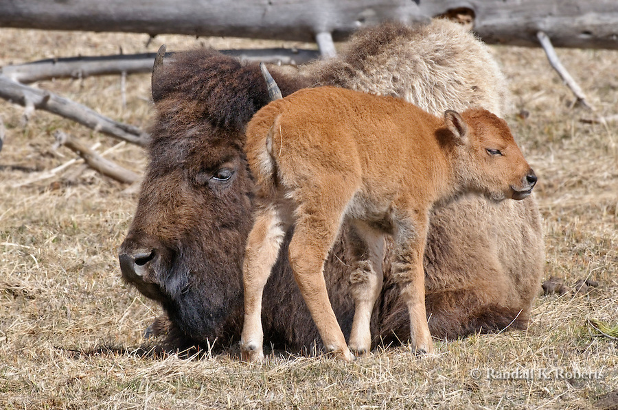A bison calf stays close to its mother on an early spring day in Yellowstone National Park, Wyoming.
