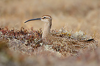 Adult Whimbrel (Numenius phaeopus) incubating its nest. Seward Peninsula, Alaska. May.