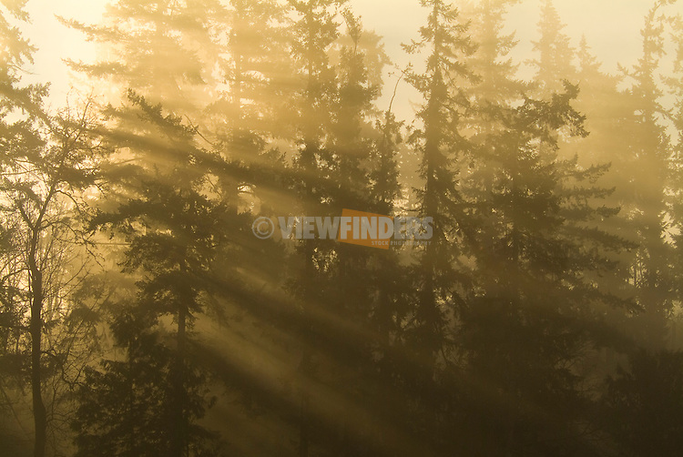 Sunlight streaming through Douglas Fir Trees, Oregon