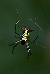 Orb Weaver Spider, Micrathena sp, Manu Peru, on web, yellow spiny abdomen, jungle, amazon.South America....