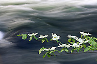 Dogwood branch along the Merced River in Yosemite National Park, California.