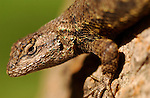 Bluebelly Lizard, Western Fence Lizard, Sepulveda Wildlife Refuge, Southern California