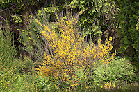 Besenginster, Besen-Ginster, Besenpfriem, Ginster, Cytisus scoparius, syn. Sarathamnus scoparius, Common Broom, Genêt à balais