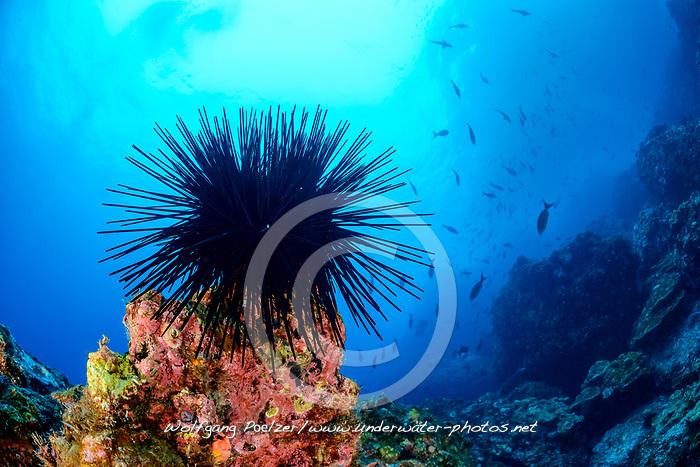 Kronen Seeigel (Centrostephanus coronatus), Insel Cocos, Costa Rica, Pazifik, Pazifischer Ozean / Crowned sea urchin (Centrostephanus coronatus), Cocos Island, Costa Rica, Pacific Ocean