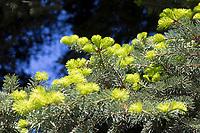 Griechische Tanne, Kefalonische Tanne, Abies cephalonica, Abies alba subsp. cephalonica, Greek fir, Grecian fir, Le sapin de Céphalonie