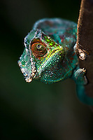 portrait of a male panther chameleon