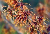 Hamamelis x intermedia Jelena aka Copper Beauty Witch hazel in late winter / early spring bloom