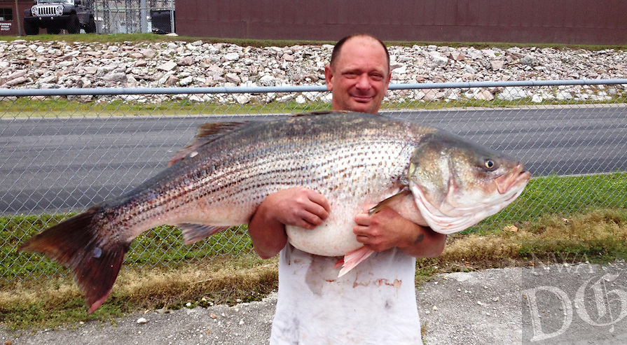 COURTESY PHOTO MISSOURI DEPARTMENT OF CONSERVATION<br /> MISSOURI RECORD<br /> Lawrence Dillman of Rockaway Beach, Mo., shows a 65-pound, 2-ounce striped bass he caught May 21 at Bull Shoals Lake that is the new Missouri state record. Dillman used a minnow on 20-pound test line to catch the striper while fishing from shore. The Arkansas state record striper is 64 pounds, 8 ounces caught from the White River below Beaver Dam in 2000.
