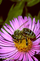 1B04-002z   Honeybee on aster flower - Apis meillifera.