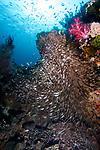 Coral reef, Parapriacanthus ransonneti, Golden sweeper, Raja Ampat, Indonesia