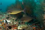 Sleek unicornfish, Naso hexacanthus