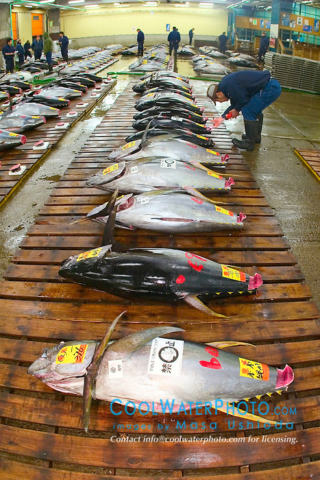 yellowfin tunas, Thunnus albacares, getting set for auction, Tsukiji Fish Market or Tokyo Metropolitan Central Whalesale Market, the world's largest fish market  hadling over 2500 tons and over 400 different kind of fresh sea food per day