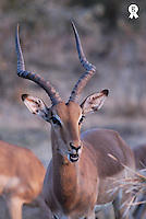 Male Impala (Aepyceros melampus) close-up (Licence this image exclusively with Getty: http://www.gettyimages.com/detail/73014026 )