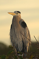 Great Blue Heron looking as if it has its hands on its chin!