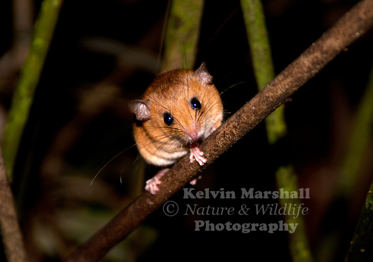 The Ranee Mouse (Haeromys margarettae) is a species of rodent in the Muridae family. It is found in Indonesia and Malaysia. Its natural habitat is subtropical or tropical dry forests.