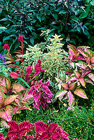Ornamental mix of bright leaves in garden, with coleus, Solenostemon, and mosses, Missouri USA