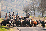 Cattle drive, marking, branding with the Steve and Kelly Wooster Outfits, Copperopolis, Calif.