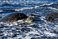 Sea Turtle on black sand beach in Hawaii