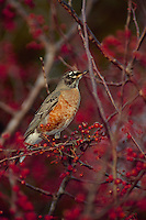 American Robin among red zumi crabapples