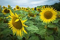 Switzerland. Geneva. Countryside. Sunflower fields.15.07.2020  © 2020 Didier Ruef