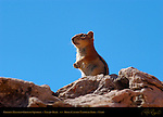 Golden-Mantled Ground Squirrel, Callospermophilus lateralis, Navajo Trail, Bryce Canyon National Park, Utah
