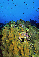 Bonaire reef with Star coral (Montastrea), Caribbean