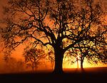Oak Trees at sunrise, Paso Robles, California