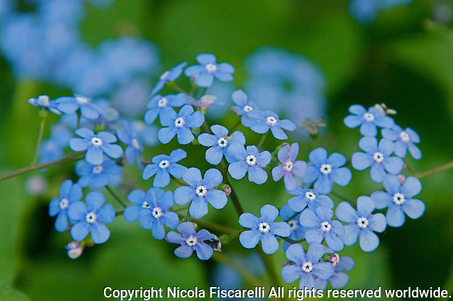 "A close-up of several Brunnera macrophylla""Jack Frost"" flowers ."