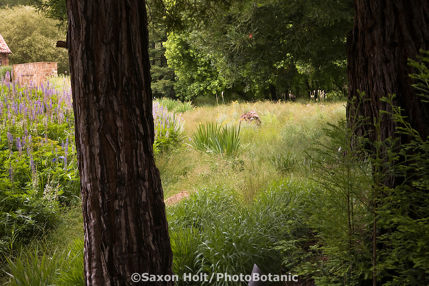 Meadow as rain garden seen through trees edging California naturalistic garden