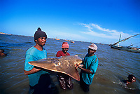 sharkfishing, Fisherman with White-Spotted Shovelnose Shark Rhynchobatus djiddensis caught with gill net. Maputo, Mozambique, Africa, Indian Ocean