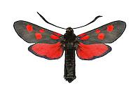 Narrow-bordered Five-spot Burnet - Zygaena lonicerae<br /> 54.009 BF171