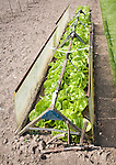 Lettuce plants growing in a cold frame