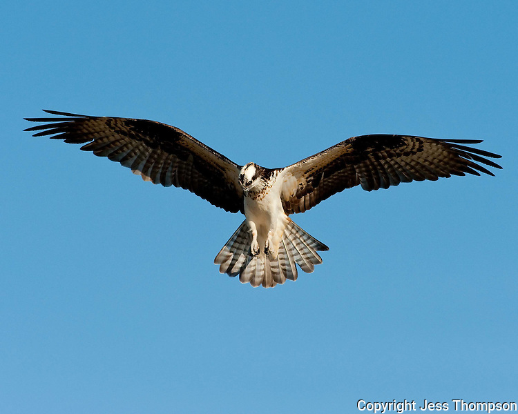 Osprey, Inks Dam Fish Hatchery, Texas