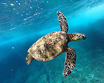HALEIWA, OAHU - MAY 14:  A general view of a sea turtle during the GoPro Athlete Summit on May 14, 2014 at the Turtle Bay Resort in Haleiwa, Oahu, Hawaii.  (Photo by Donald Miralle for ESPN the Magazine)