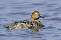 Female Canvasback swimming on a lake