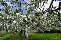 Apple trees in bloom, Hansel's orchard, North Yarmouth Maine, USA