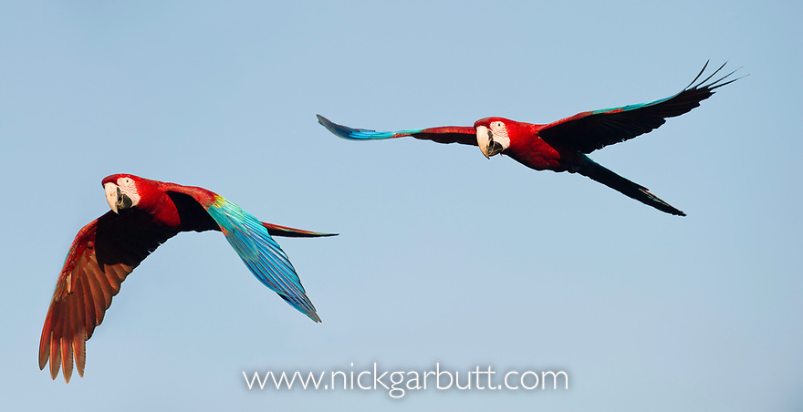 Pair of Red-and-Green Macaws or Green-winged Macaws (Ara chloropterus) (Family Psittacidae)  in flight. Chapada dos Guimarães, Brasil.
